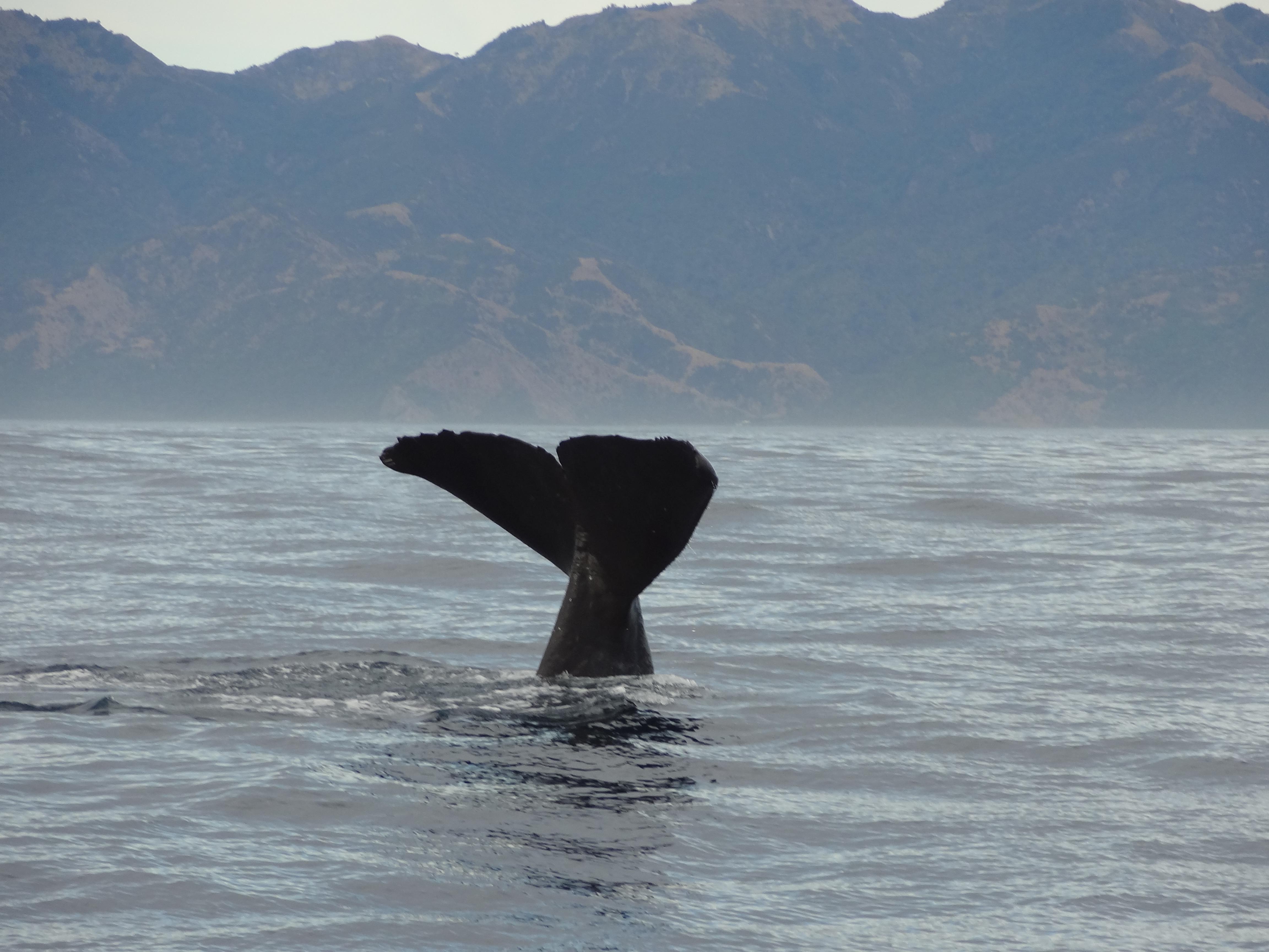A whale off the coast of Kaikoura