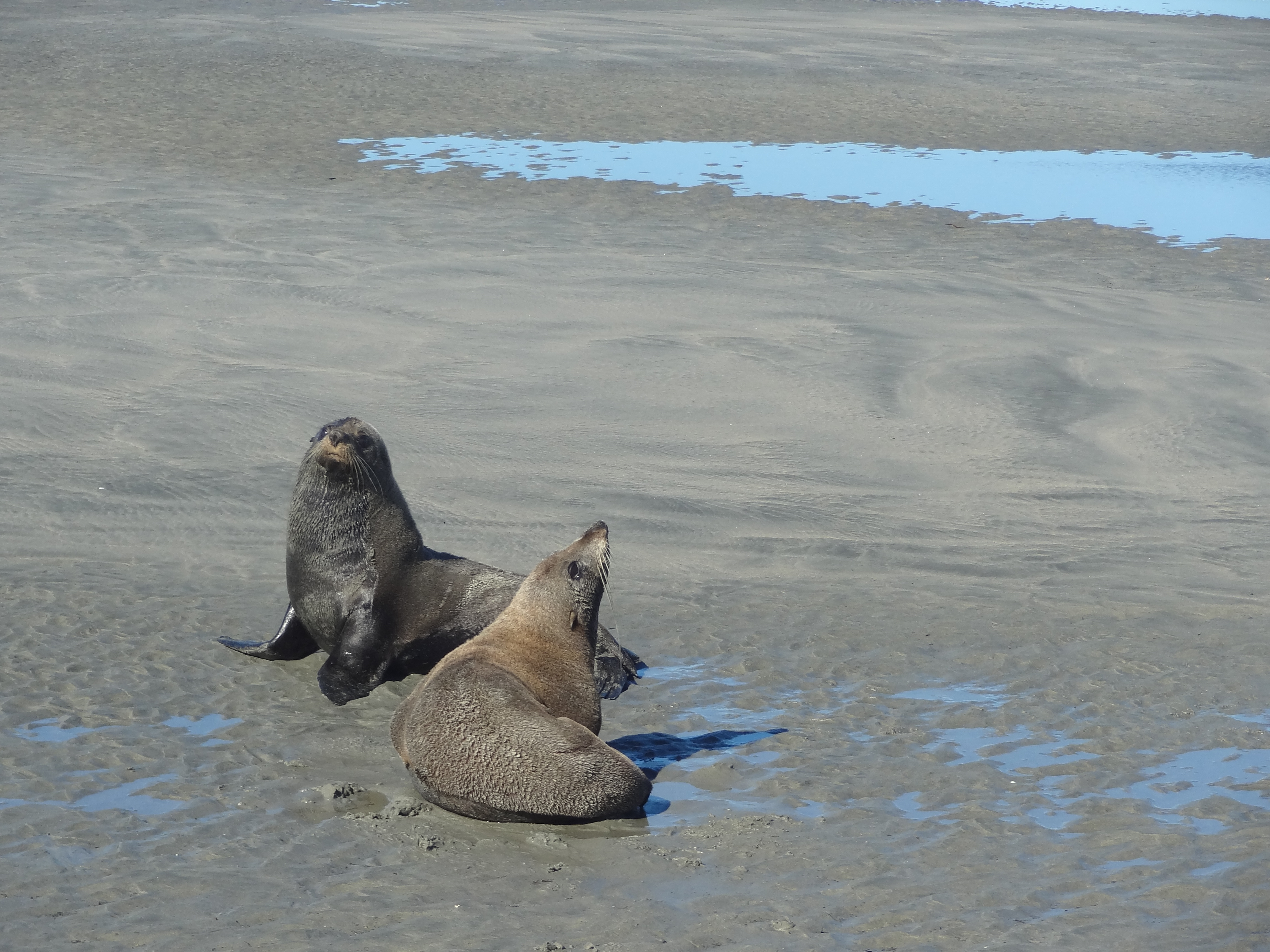Seals on Farewell Spit
