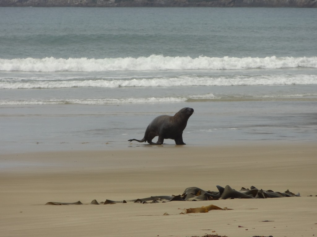 Sea lion on Kaka Bay Beach